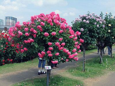 京成バラ園6.jpg